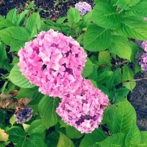 紫陽花、アジサイ