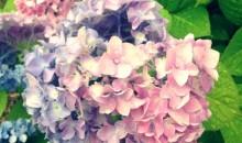 紫陽花、梅雨